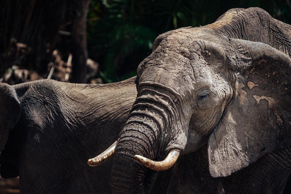 Elephants Maasai Mara Safari Kenya, Africa Ph Dave Krugman
