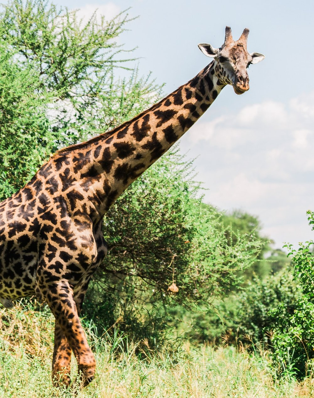 Old male giraffe in Maasai Mara, Kenya Ph. Valorie Darling