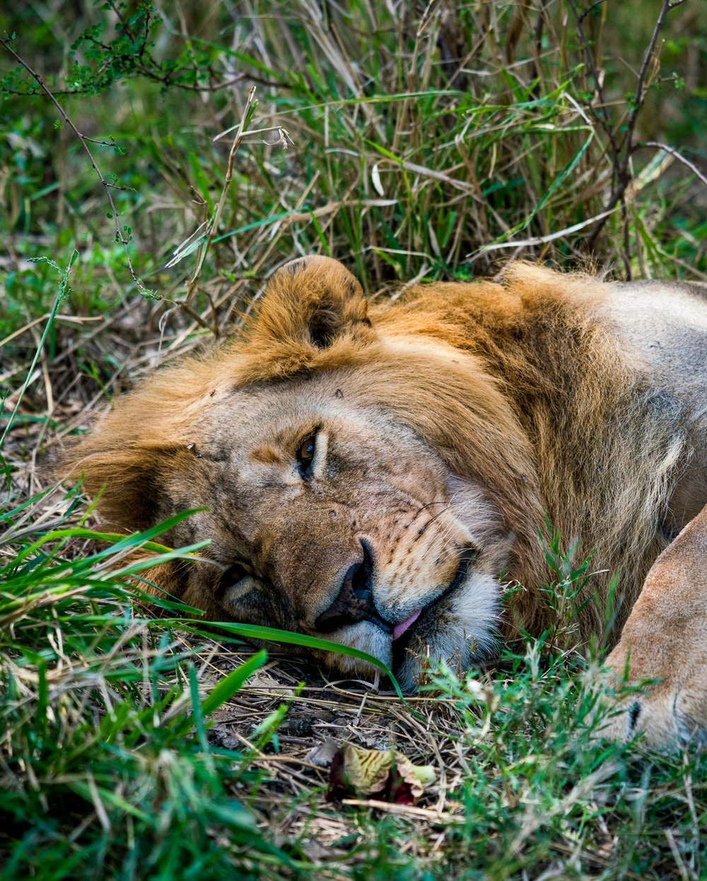 Male Lion resting in Maasai Mara - Kin Travel Ph. Dave Krugman