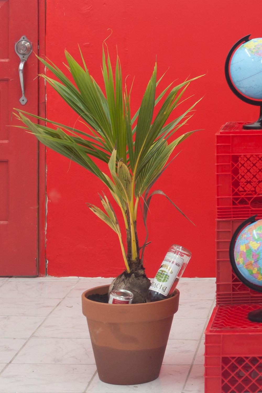 Coquito plant por Juan Sebastián Peláez