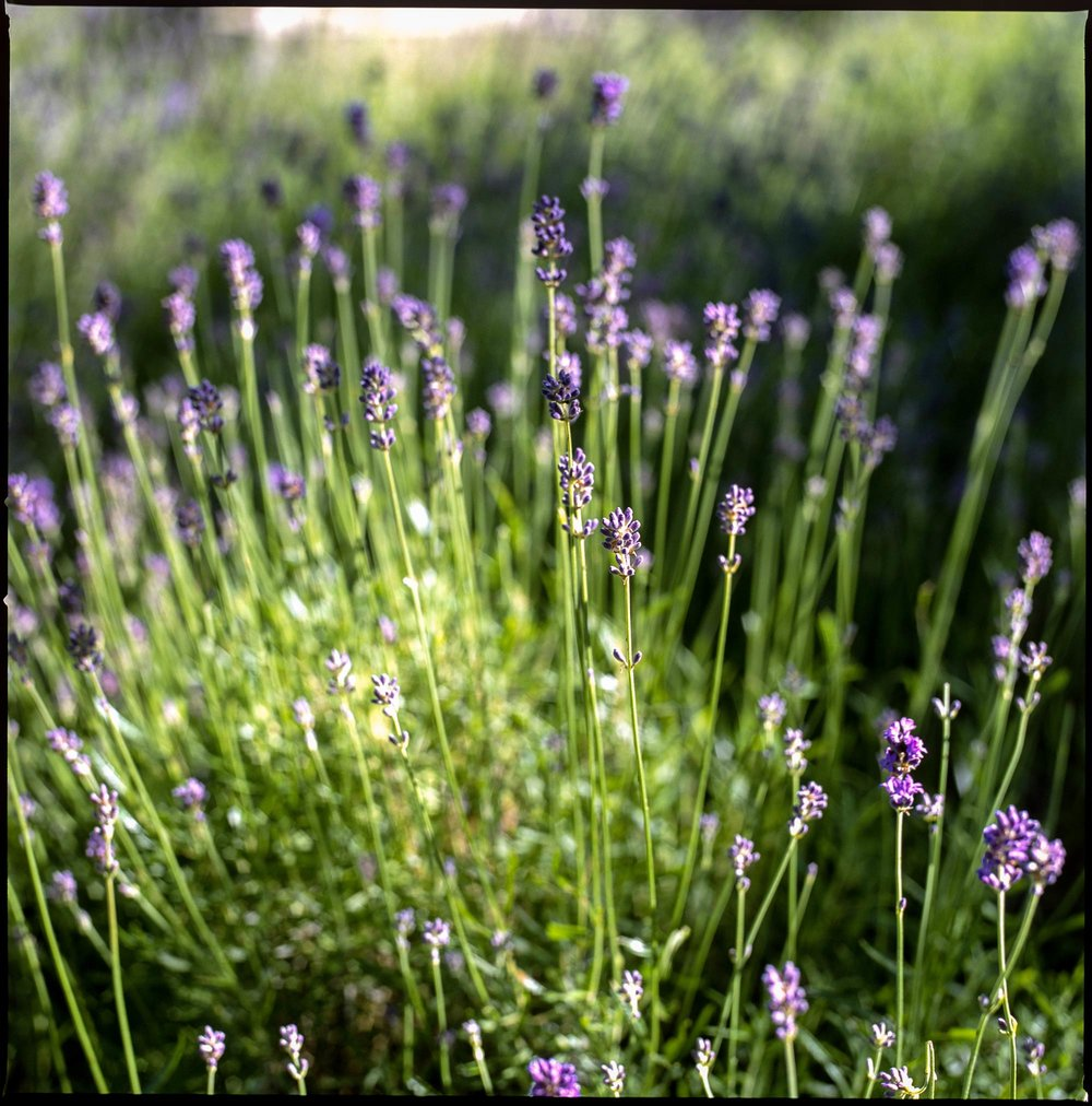 Lavender at dawn