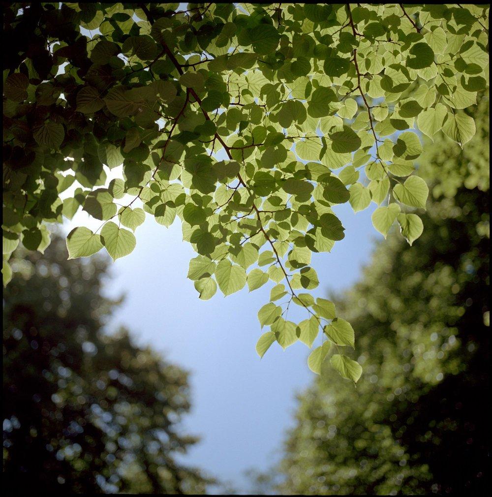 Backlit green leaves