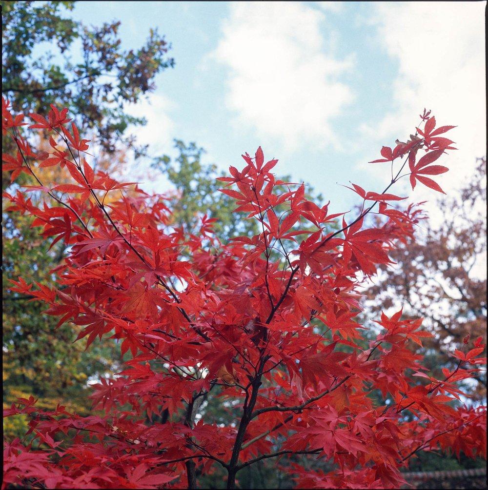 Japanese Maple Clingendael Park