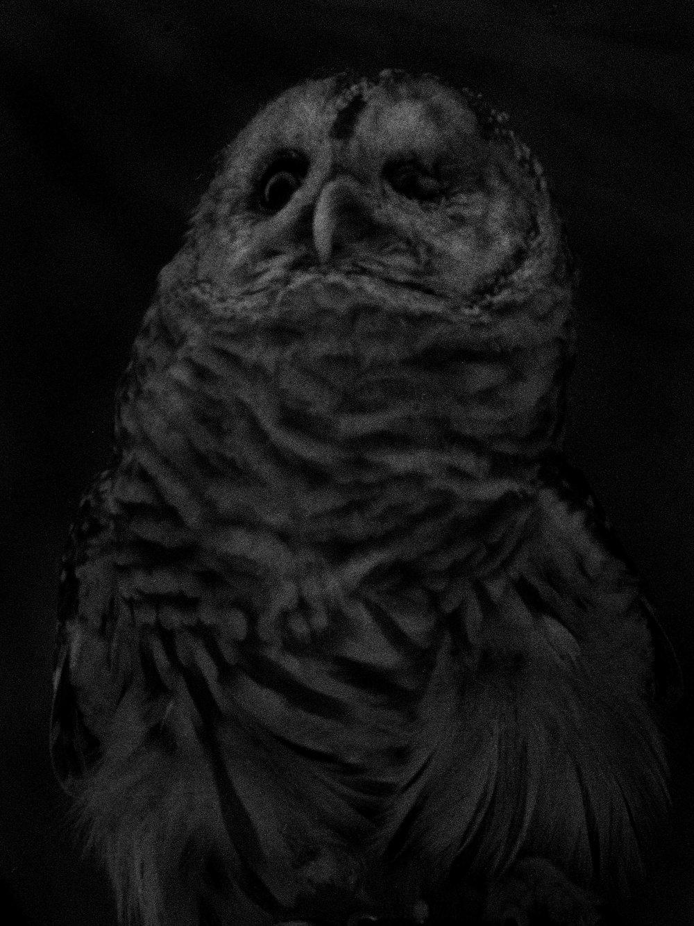 "Owl  | 18""x24"""