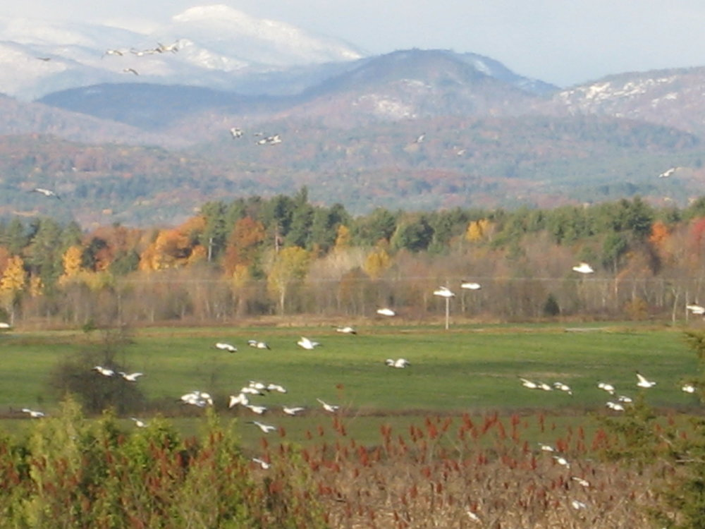 Migrating Snow Geese with Addroncaks High Peaks in background!