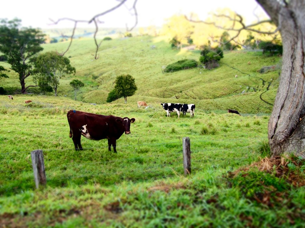 Tilba cows