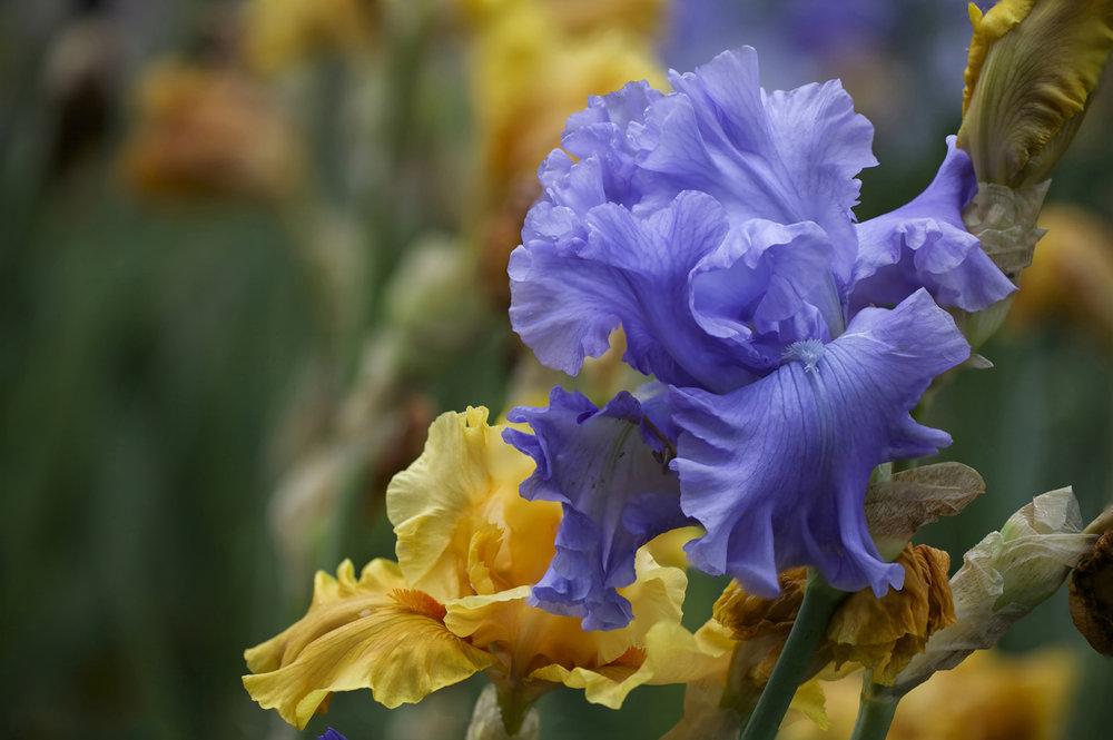 blue and yellow iris.jpg