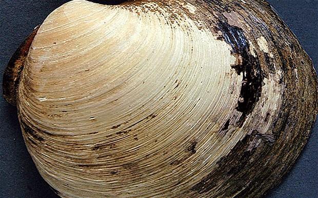 Quahog clam.  Bangor University