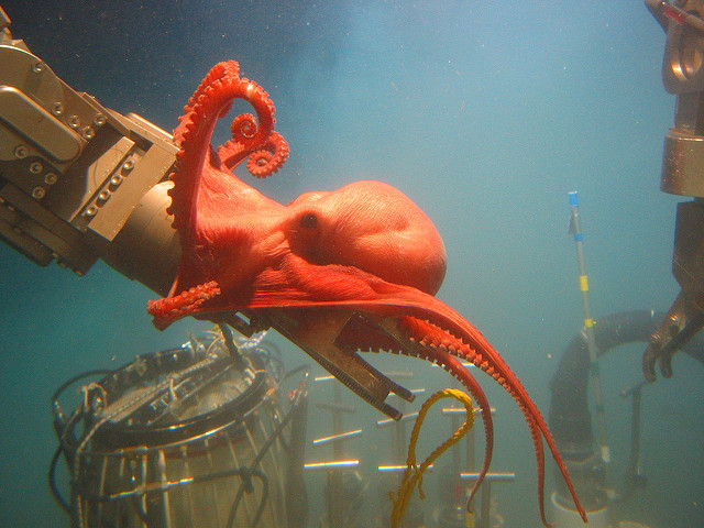 Benthoctopus sp. looking into NOAA's diving gear.   Bruce Strickrott, Expedition to the Deep Slope 2006