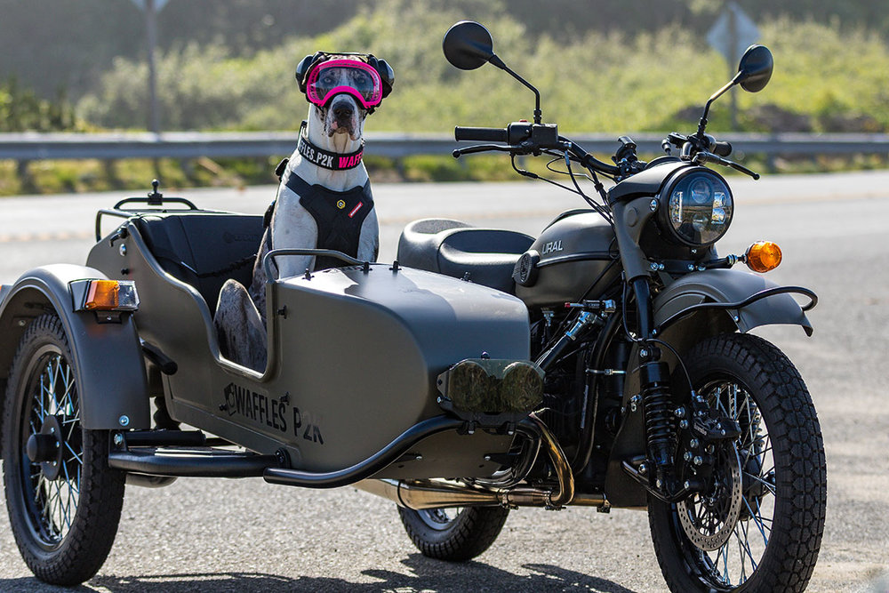 Waffles the Sidecar Dog