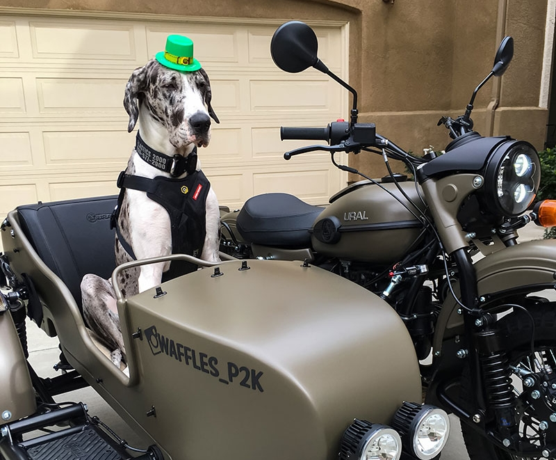 Waffles The Sidecar Dog Ural Motorcycles