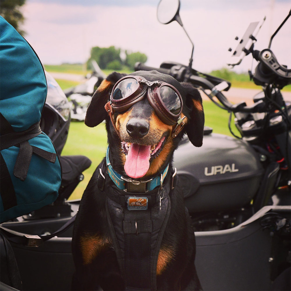 Perry the sidecar dog as featured on the  @stcroixural  feed.