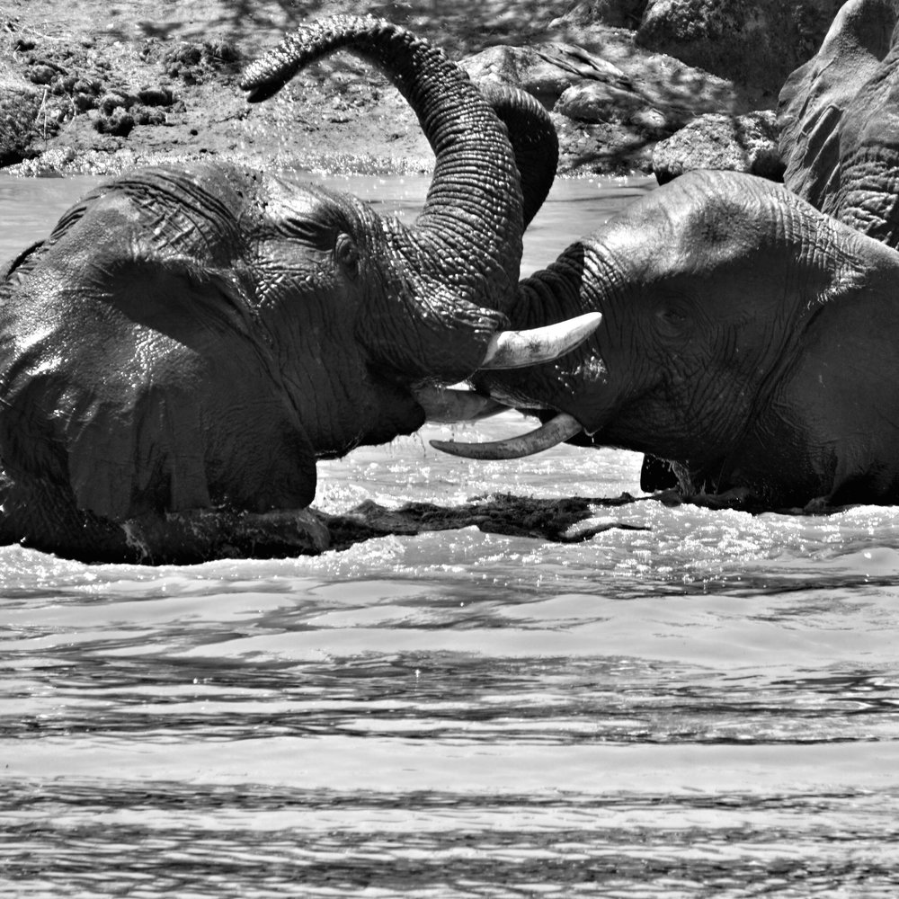 Frolicking Pachyderms