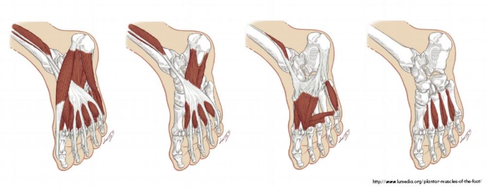 carlsbad chiropractor foot muscles.jpg