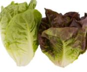 lettuce_red&greengem