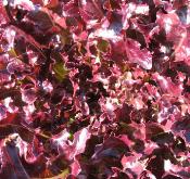 lettuce_hyperred