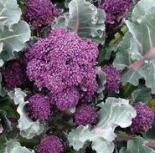 broccoli_santee