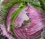 cabbage_januaryking
