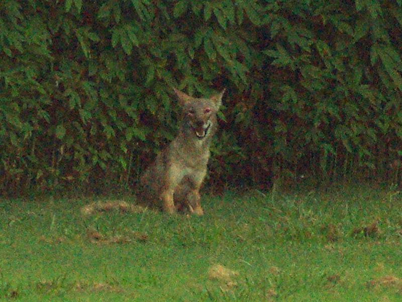 Millennial coyote photobomb.  Photo Credit: Chris Jackson