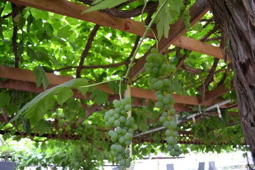 Canadas Largest Grapevine Joni Photo