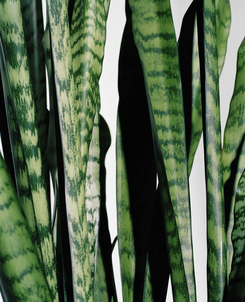 "snake plant, 17"" x 21"""