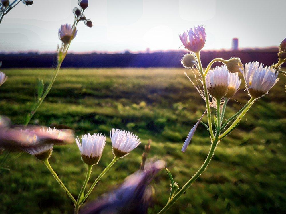 Sunlit flowers.JPG