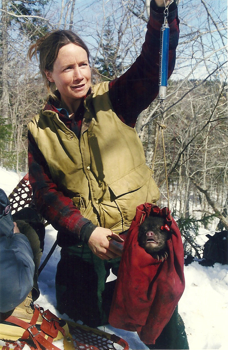 Weighing a bear cub during denwork in northern Maine (1999).