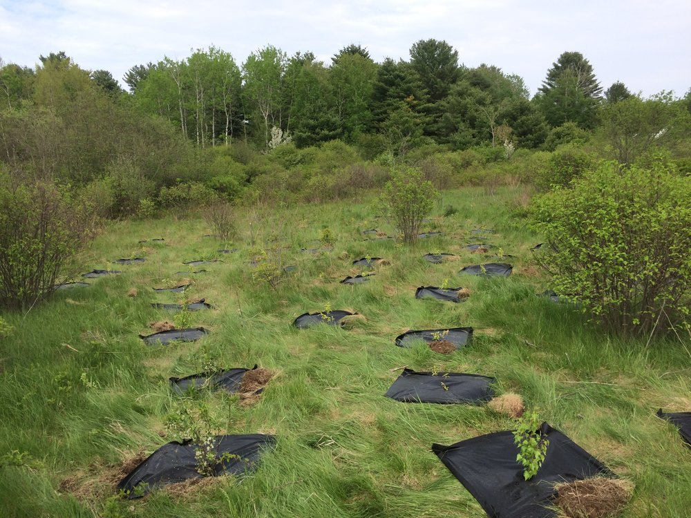 Shrub-planting in progress at the Scarborough Marsh Wildlife Management Area to create habitat for the New England cottontail, per my shrub planting plan for the Maine Department of Inland Fisheries & Wildlife (photo: MDIFW)
