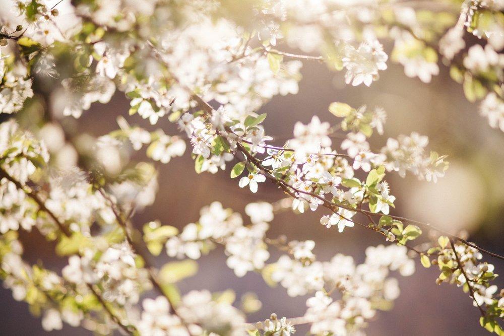 dandelion_seedheads.jpg