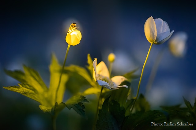 Firefly Illuminating Wood Anemone Wildflower - see more beautiful images at  The Firefly Experience