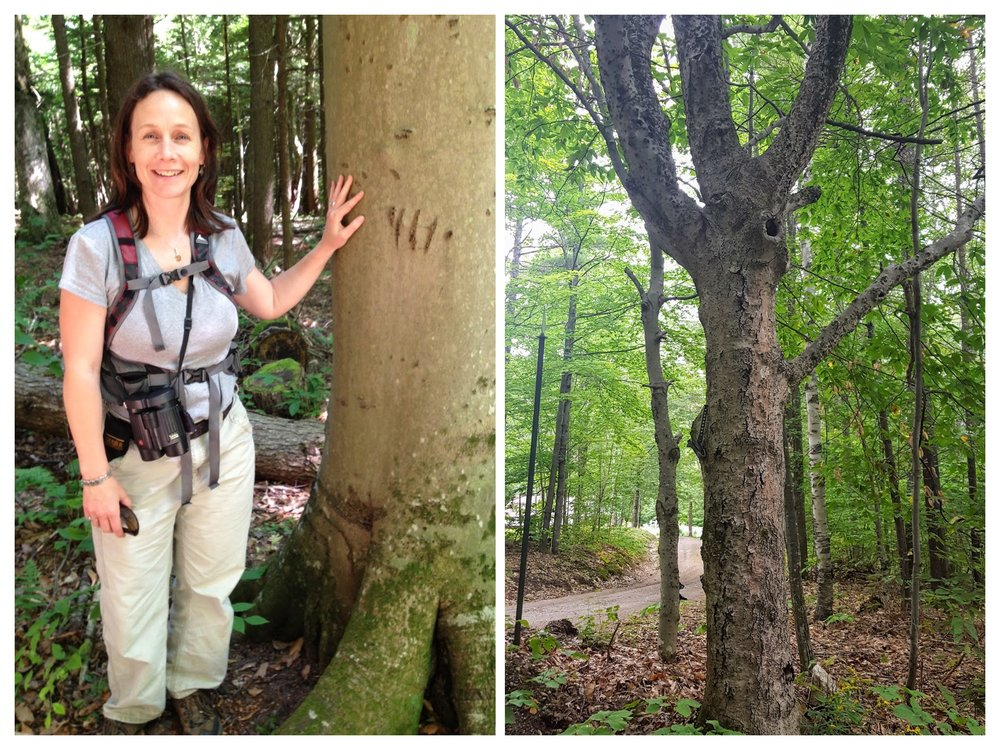 "A bear-scarred ""Super Beech"" in Vermont (showing claw marks), regularly climbed by bears to feed on the nuts (left); an old, diseased beech that is nonetheless producing a huge nut crop this year (right)."