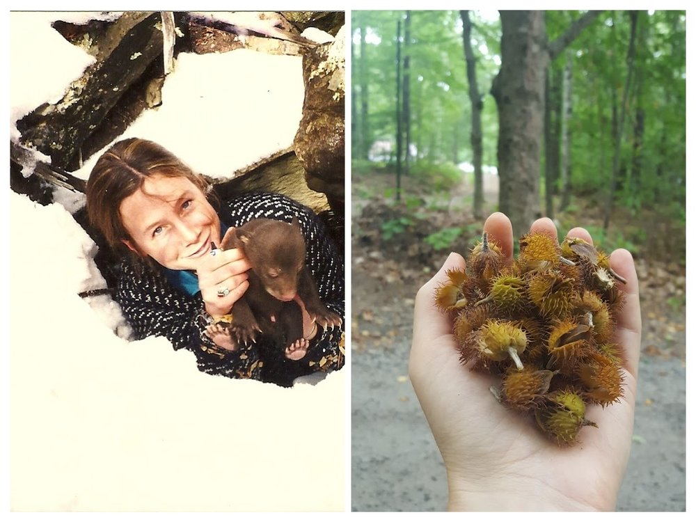 In the 1990s I worked on a number of black bear studies and visited winter dens to help collect reproductive and survival data (left); beechnuts gathered at the base of an old, gnarly tree near my home -this year is a big nut year (right)!