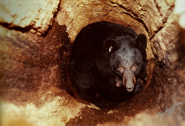 Hibernating black bears routinely den and give birth in the safe and sheltered environment of a hollow standing tree (note the young cub peeking up from under the mother; photo: Frank T. van Manen).