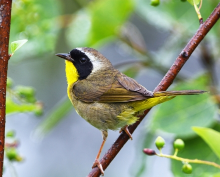 The Common Yellowthroat is found in a wide range of habitats including thickets, wet marshy areas, and edges (see #3, below). The population has declined 38% since the mid-60s (photo: Doug Gimler  www.nekwildlifephoto.com ).