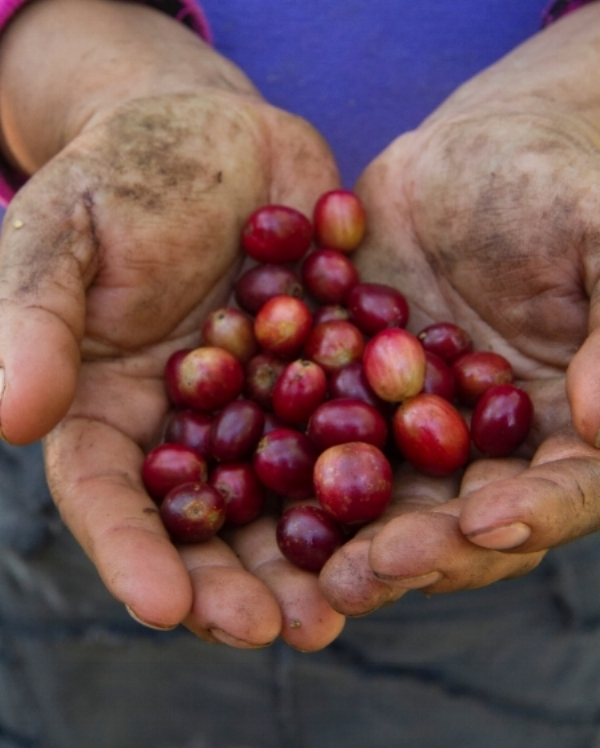 "Coffee ""cherries,"" freshly picked and ready to be processed. Ripening beneath the shade of an intact, functioning forest, traditional shade-grown coffee produces beans with superior flavor while preserving critical bird habitat. (©Scott Weidensaul)"