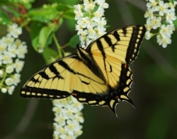 Butterfly, Tiger Swallowtail, Warren Gore, Vt.jpg