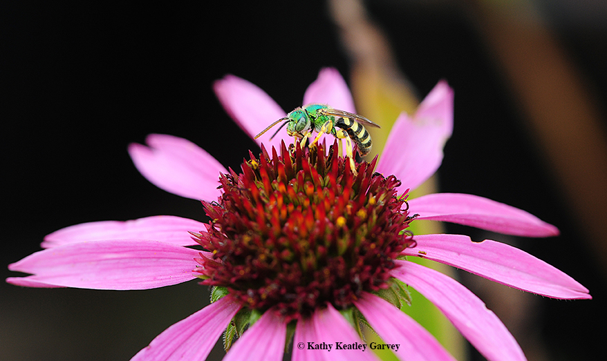 Metallic green sweat bee ( Agapostemon texanus ) on coneflower ( Echinacea  spp.). Photo: Kathy Keatley Garvey.