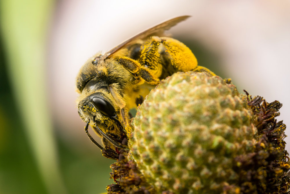 Pollen-covered mining bee (Andrena spp.) on coneflower. Photo: Alex Wild,  Insects Unlocked .