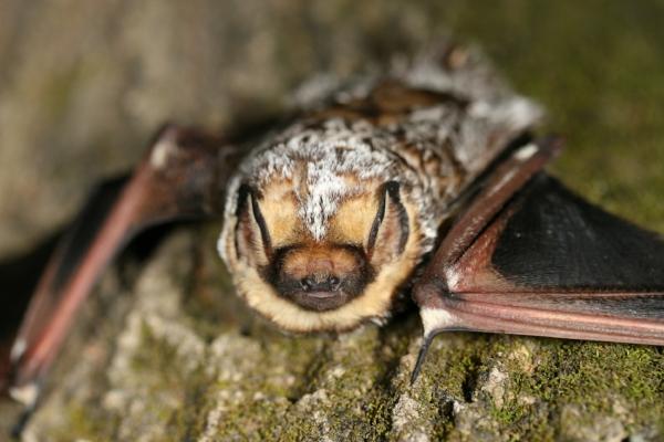 Hoary Bat (photo: Dave Yates)