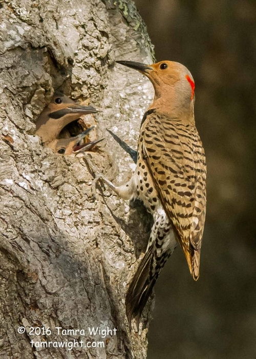 Northern Flickers, a type of woodpecker, use holes (or cavities) in decaying trees for nesting.
