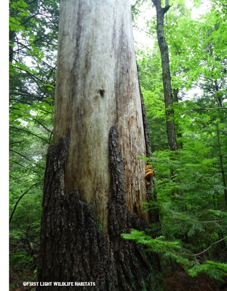 """""""Snags"""" include standing dead, or partially dead trees of a minimum size (diameter and height), and at least half-covered by bark."""
