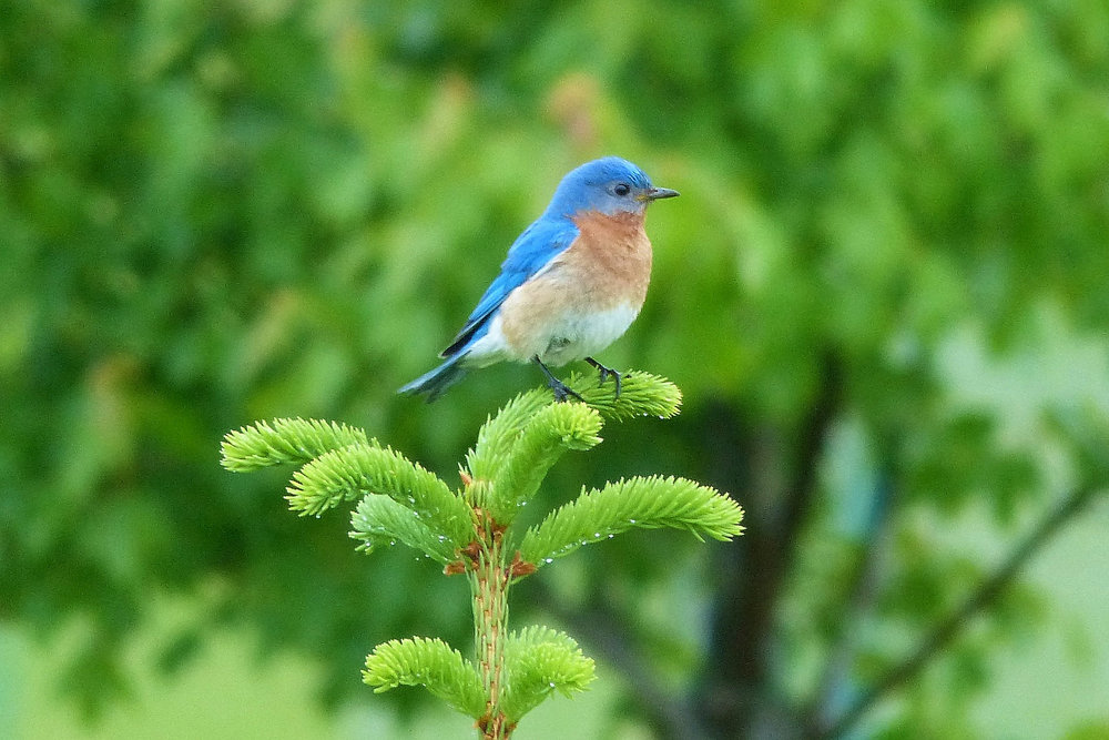 photo: bluebird on spruce; plant4wildlife on Flickr