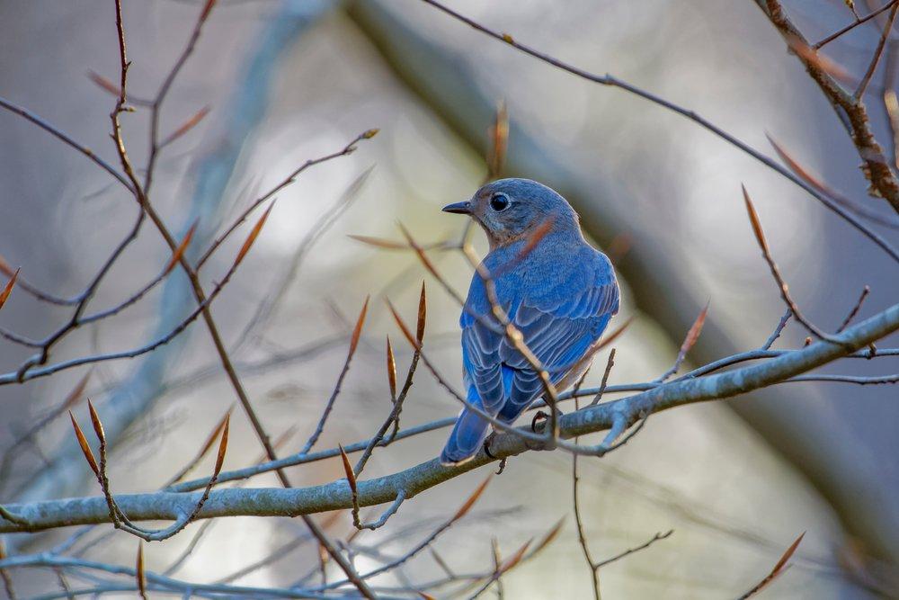 bluebird_scott-johnson-670469-unsplash.jpg