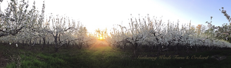 Photo: King Bloom at Gathering Winds Farm & Orchard by Stacey Bsullak