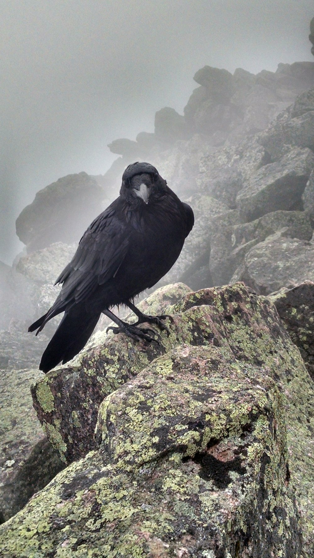 Common Raven on Mt. Katahdin (Eric Hoar).