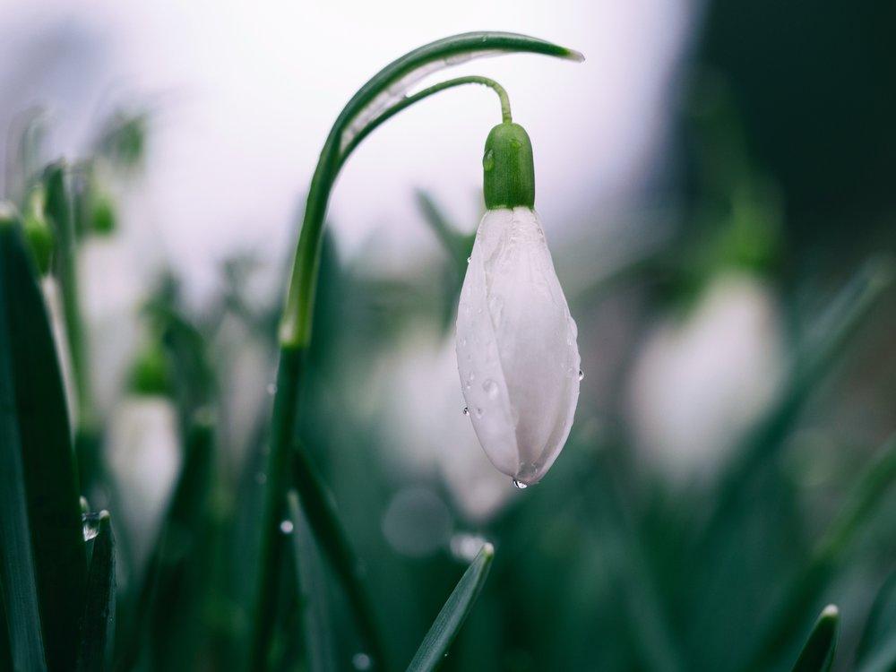 snowdrop (Aaron Burden)