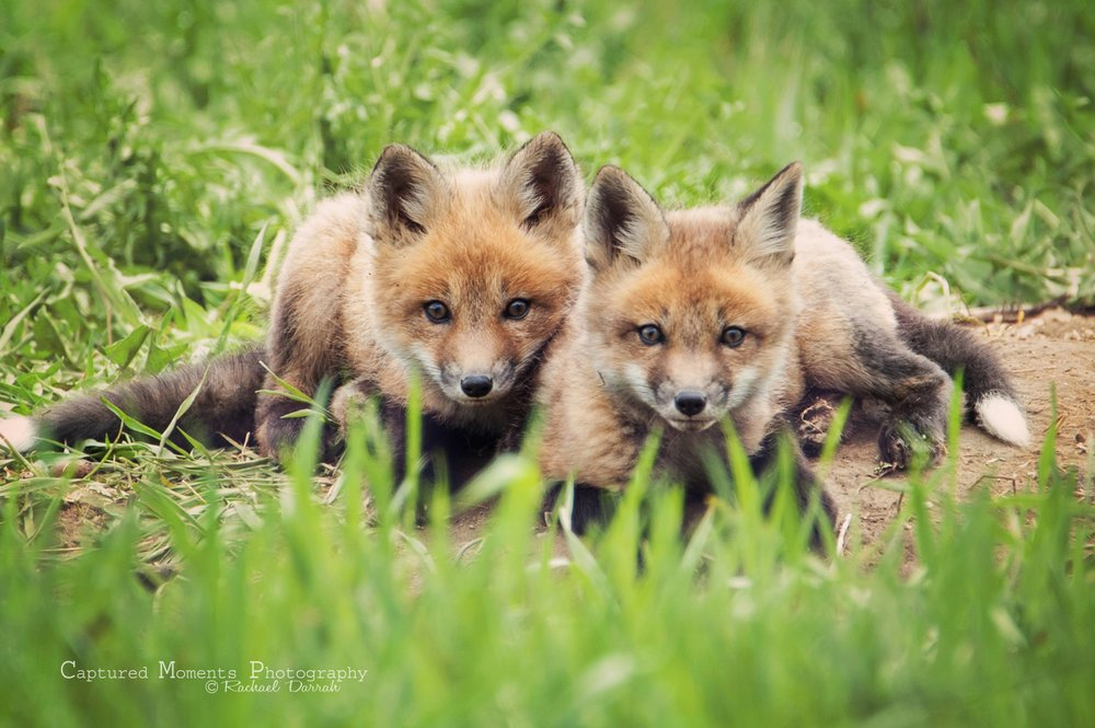 fox kits (Captured Moments Photography: Rachael Darrah)