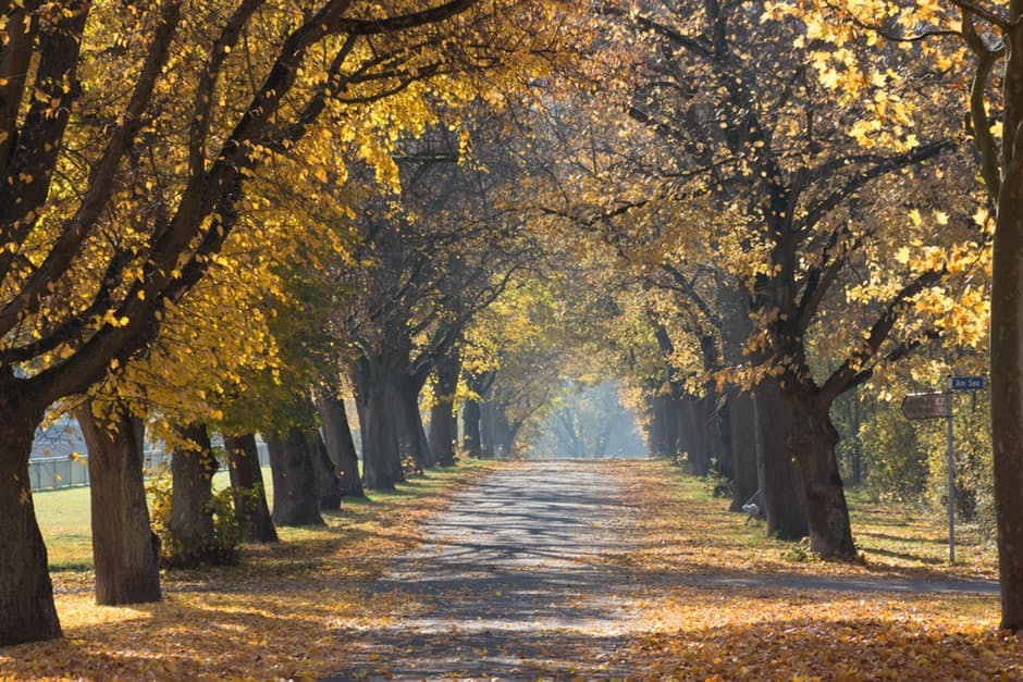 country road lined with golden autumn trees