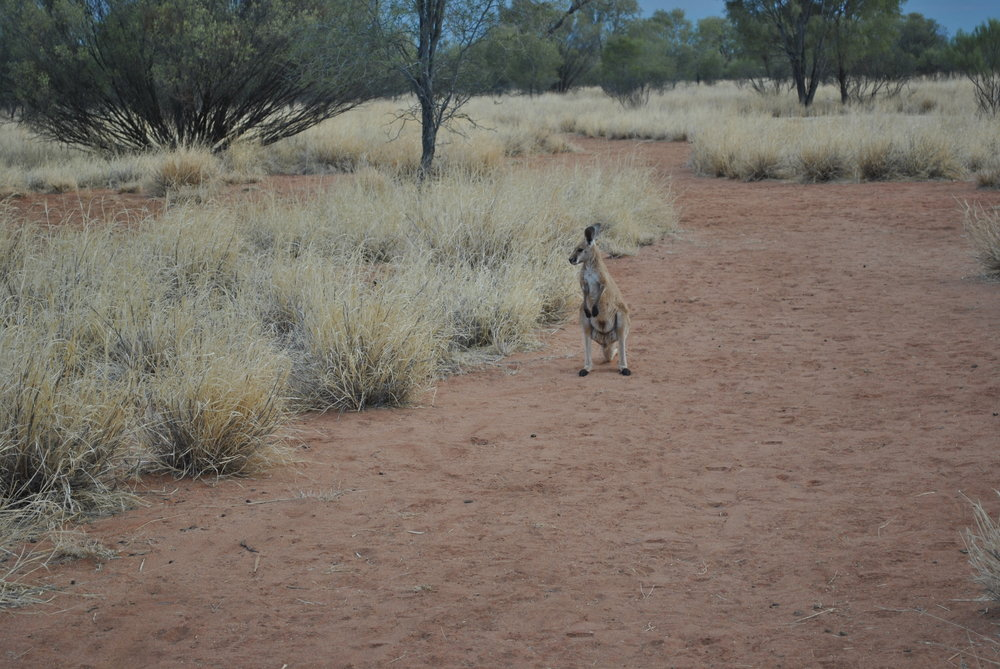 kangaroo northern territories