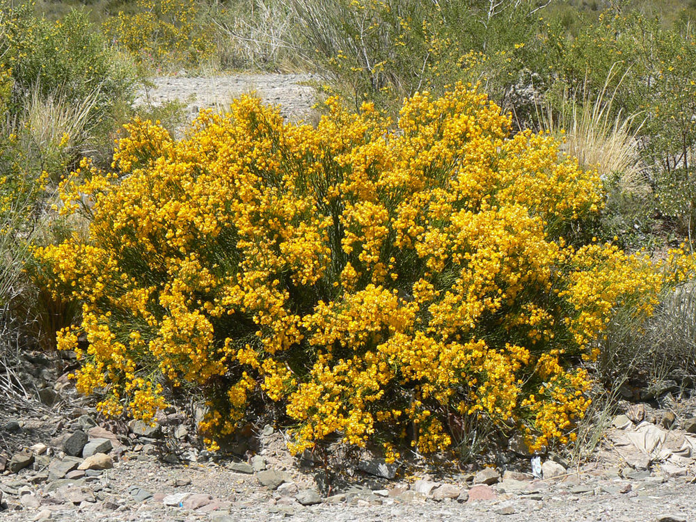 Pichanilla arbusto.jpg